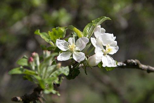 Apple Blossom, Branch, Apple Tree, Fruit Tree, Blossom