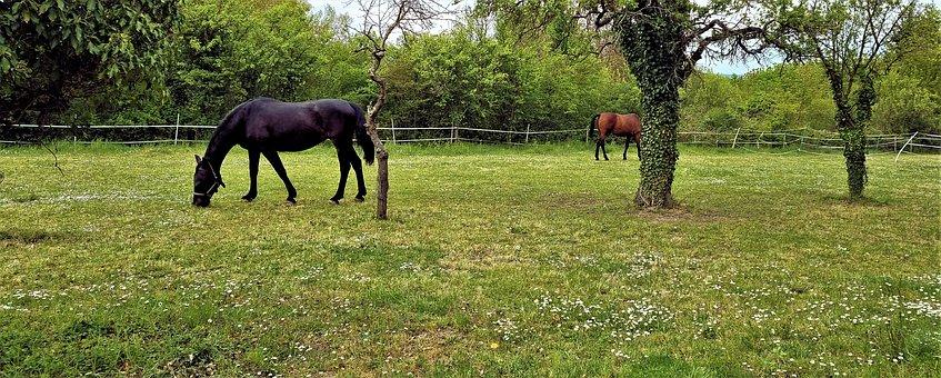 Horses, Animals, Pasture, Grazing, Coupling, Mammals