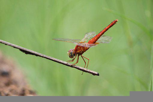 Dragonfly, Closeup, Nature, Insect, Wings, Plant, Alive