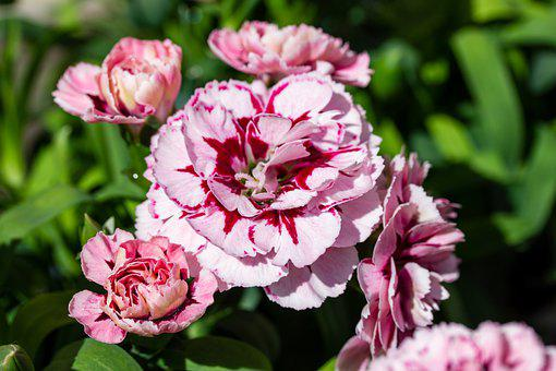 Carnation, Flowers, Plants, Clove Pink, Pink Flowers