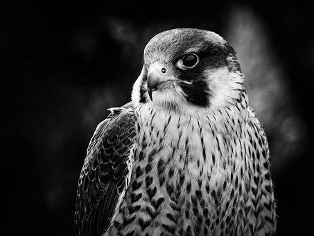 Bird, Hunting Bird, Hunting, Nature, Animal, Hunt