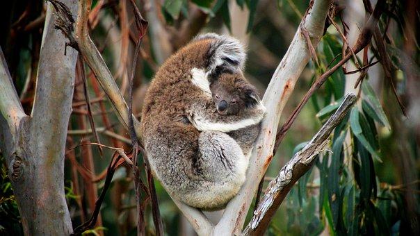 Koalas, Baby Koala, Tree, Love, Mother, Child, Care