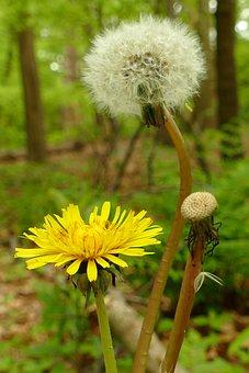 Dandelion, Yellow, Flower, Plant Fluff, Flora, Nature