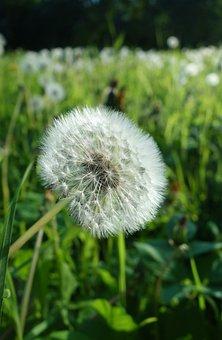Dandelion, Spring, Pollen, Meadow, Nature, Plant