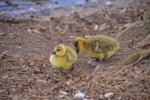 Gosling, Grey Geese, Bird World, Osterbek Canal