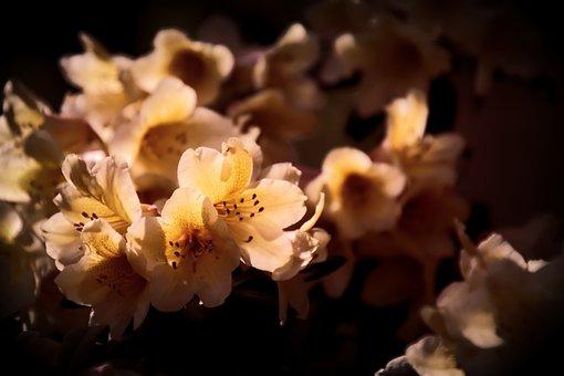 Flowering Shrub, Rhododendron, Bush, Blossoms, Bloom