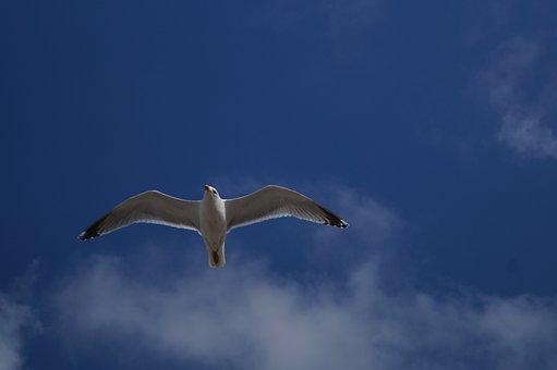 Silbermöwe, Larus Argentatus, European Herring Gull
