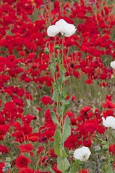 Spain, Toledo, Poppy, Flowers, Field, Common Poppy