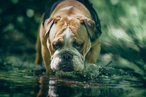 Dog, Bulldog, Mammal, Animal, English, Water, Cute