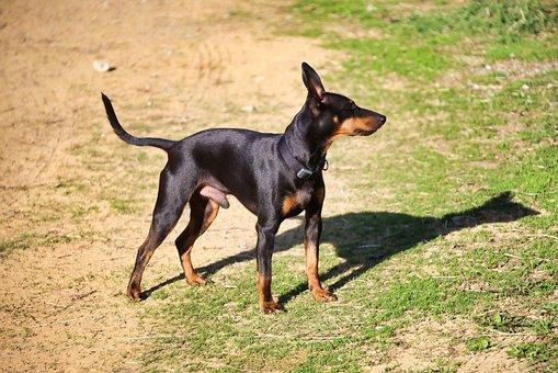 English Toy Terrier, Dog, Pet, Animal, Domestic Dog
