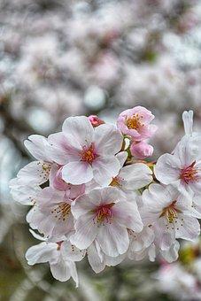 Cherry Blossom, Flowers, Spring, Pink Flowers, Sakura