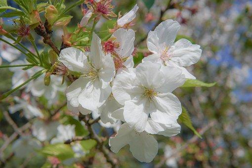Peach Blossom, Shining, Is Ji