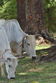 Oxen, Animals, Pasture, Grazing, Indian Oxen, Mammals