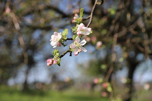 Apple, Flowers, Spring, Flowering, Pink, Branch, Tree