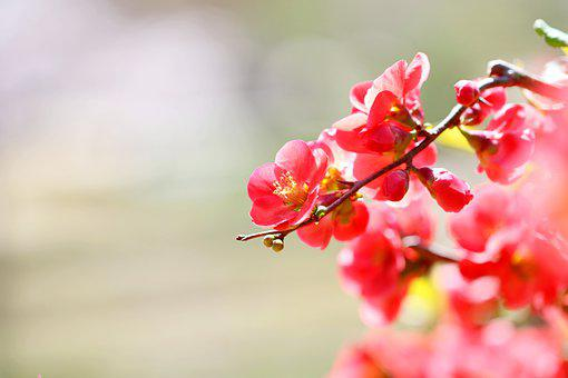 Flowers, Petals, Azalea, Royal Azalea, Rhododendron