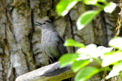 Gray Catbird, Bird, Branch, Perched, Grey Catbird