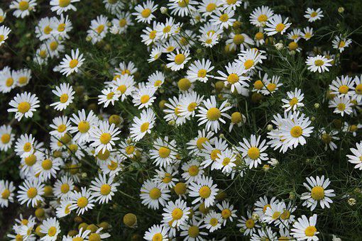 Chamomile, Flowers, White, Daisies, Bloom, Blossom