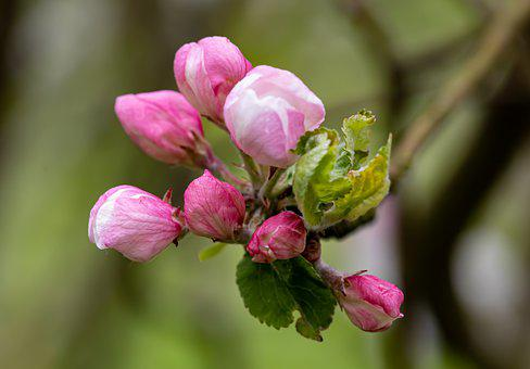 Apple Blossoms, Flowers, Buds, Branch, Pink Flowers