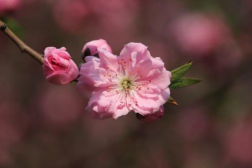 Cherry Blossom, Flower, Spring, Bud, Petals