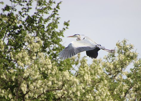 Grey Heron, Flying, Bird, Water Bird, Flight, Wings
