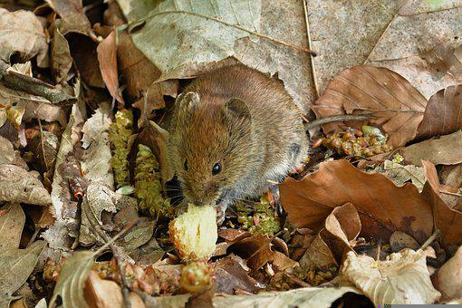 Wood Mouse, Mouse, Food, Rodent, Animal, Mammal, Leaves