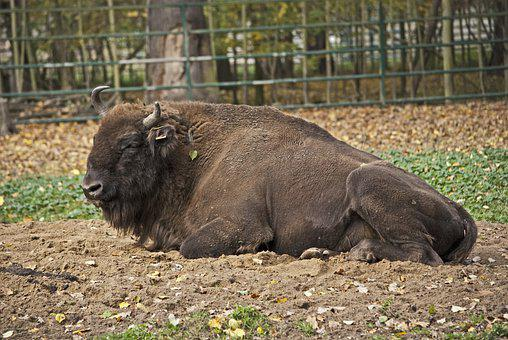 Bison, Animal, Buffalo, Nature, Animal World, Horns