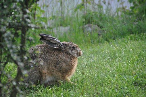 Hare, Long Eared, Easter Bunny, Wild Rabbit, Grass