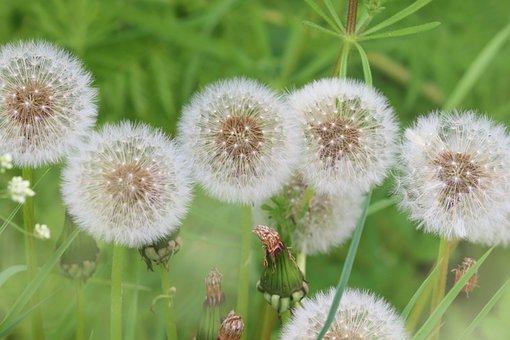 Dandelions, Dandelion, Nature, Flowers, Plant, Close Up