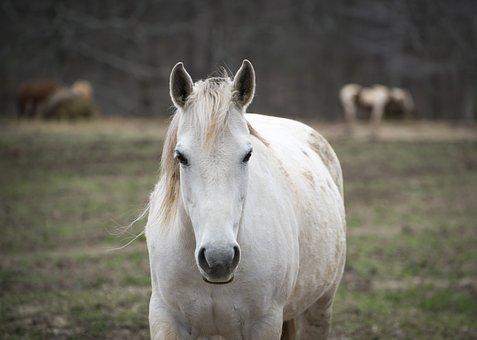 Horse, Animal, Ranch, White Horse, Mammal, Pony, Mane