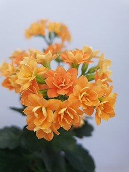 Flower, Indoor Flowers, Plant, Scarlet