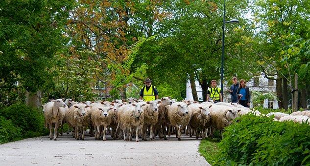 Sheep, Sheep Herder, Flock Of Sheep, Mammals, Shepherd