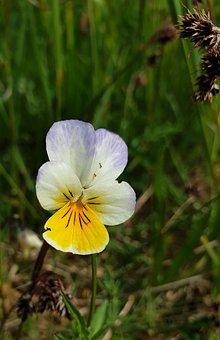 Three Brothers, Violet, Flower, Spring