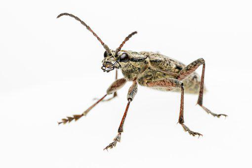 Beetle, Insect, Black-spotted Longhorn Beetle, Pest