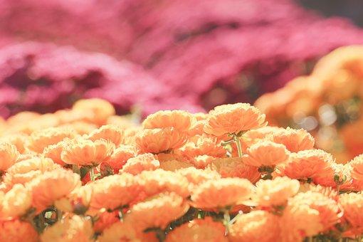 Chrysanthemum, Flowers, Plants, Nature, Wildflower