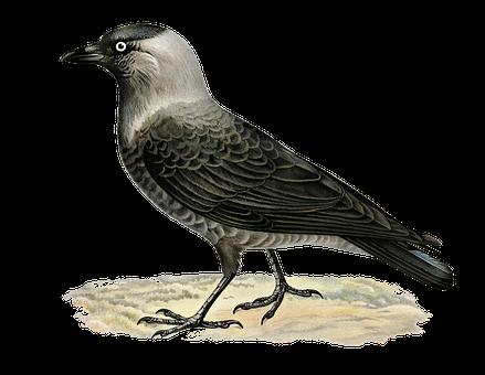 Bird, Western Jackdaw, Jackdaw, Corvus, Standing