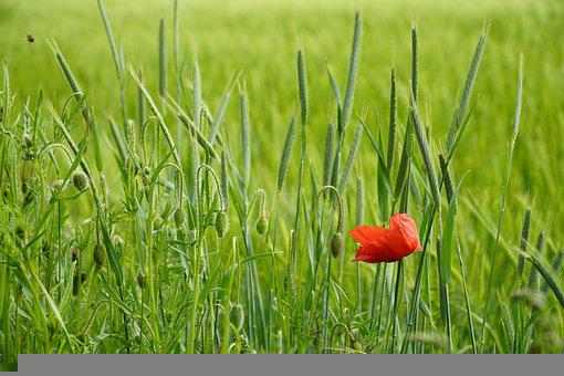 Poppy, Flower, Field, Common Poppy, Papaver, Buds