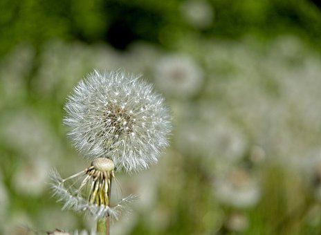 Dandelion, Flower, Seeds, Seed Heads, Blowballs, Fluffy