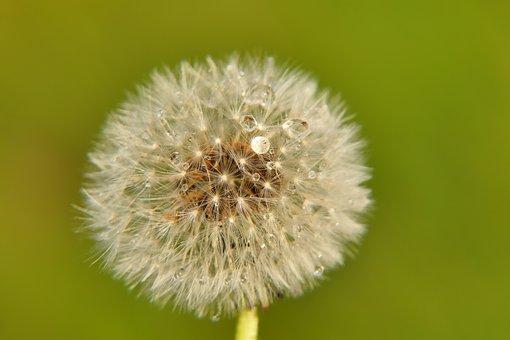 Dandelion, Seeds, Dew, Wet, Dewdrops, Raindrops, Flower