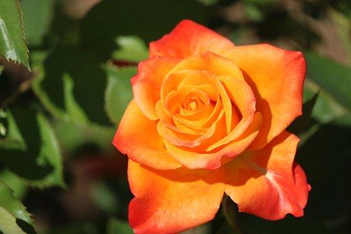 Rose, Flower, Plant, Orange Rose, Orange Flower, Petals