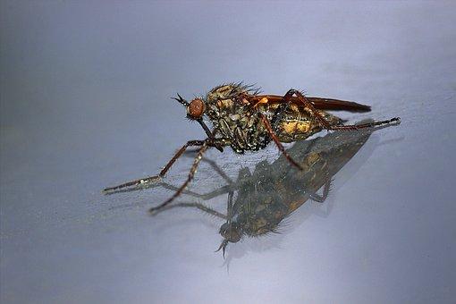 Fly, Predator Fly, Hunter, Brachycera, Insect, Wings