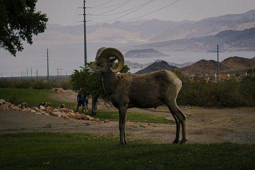 Bighorn Sheep, Ram, Pasture, Sheep, Bighorn, Animal