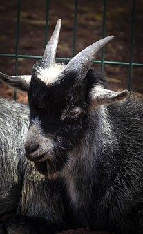Goat, Horns, Ruminant, Animal, Farm, Zoo, Fauna