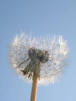 Dandelion, Flower, Seeds, Sky, Seed Head, Blowball