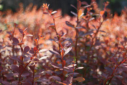Plants, Bush, Leaves, Red, Stems, Spring, Nature