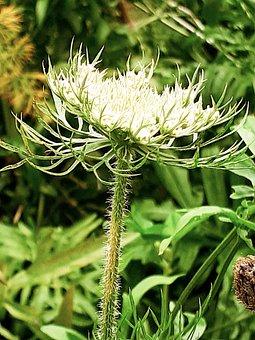 Wild Carrot, Flower, Plant, Daucus Carota, White Flower