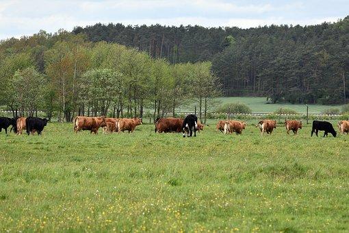 Cows, Cattle, Horns, Calf, Pasture, Land, Meadow, Grass