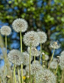 Dandelion, Flowers, Seeds, Seed Heads, Blowballs