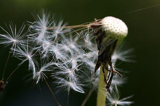 Dandelion, Seeds, Flying Seeds, Wild Flowers