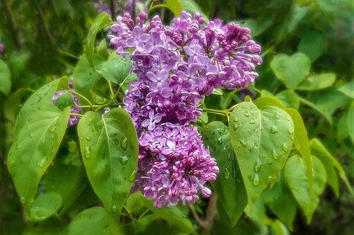 Purple, Flowers, Lilac, Dew, Wet, Dewdrop, Raindrop