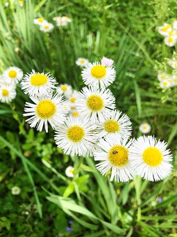 Daisy, Flowers, Meadow, Common Daisy, White Flowers